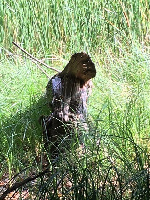 Gorilla Silberrücken Gesichtet im Buchenwald Grumsin ;) #Waldwesen #Natur #Erlebnis #Wald
