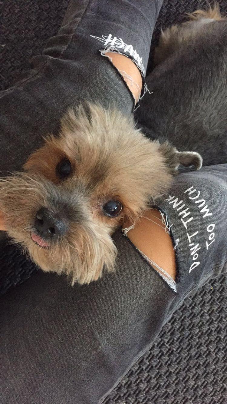 Yorkie love cute pets pinterest yorkies dog and doggies