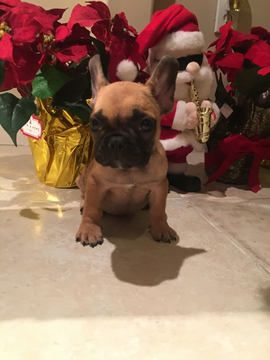 French Bulldog Puppy For Sale In Miami Fl Adn 20523 On