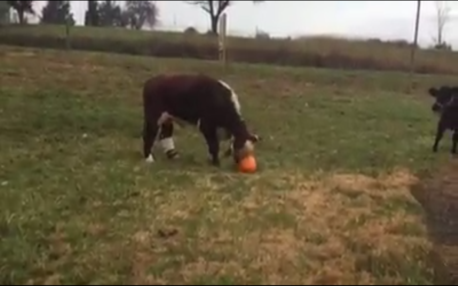 Adorable Video of Rescued Cows Playing With Pumpkins Shows