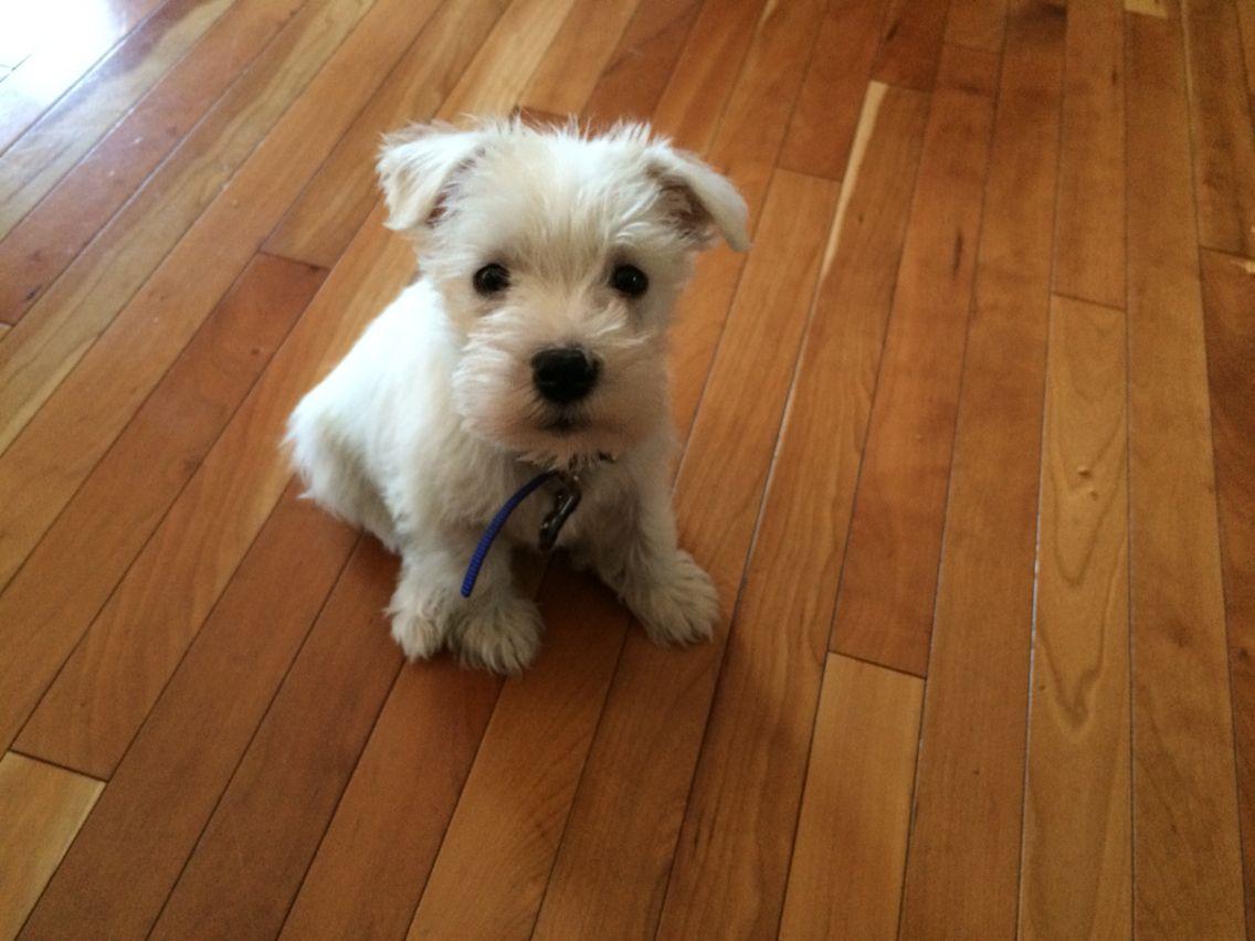 8 week old miniature schnauzer Eris | Beautiful dogs, Cute ...