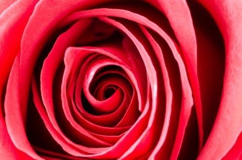 أجمل ورود الحب في العالم اجمل ورود الحب والرومانسية اجمل ورود الحب والعشق Zina Blog Wedding Present Ideas Unusual Wedding Presents Rose Photos