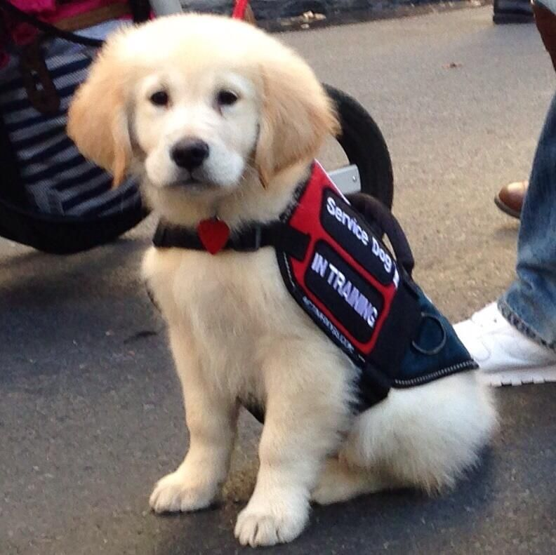 English Cream Golden Retriever Puppy Service Dog In Training