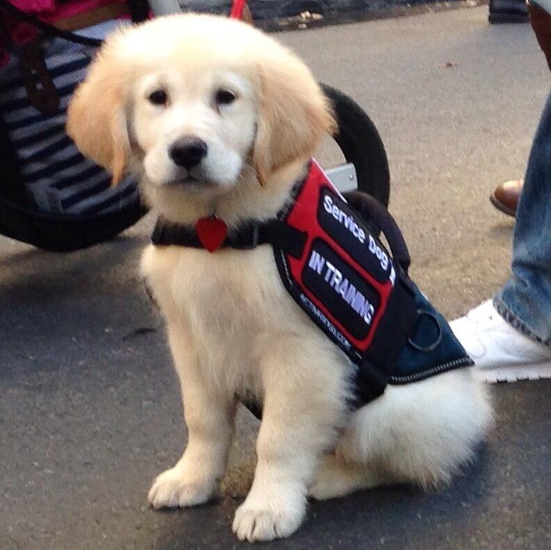 English cream golden retriever puppy service dog in