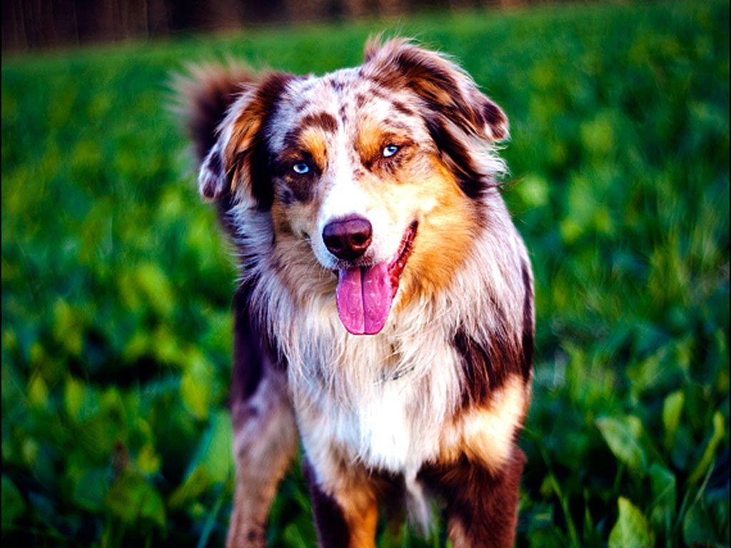 Classic Blue Marble Color Australian Shepherd Dogs Australian Shepherd Aussie Dogs