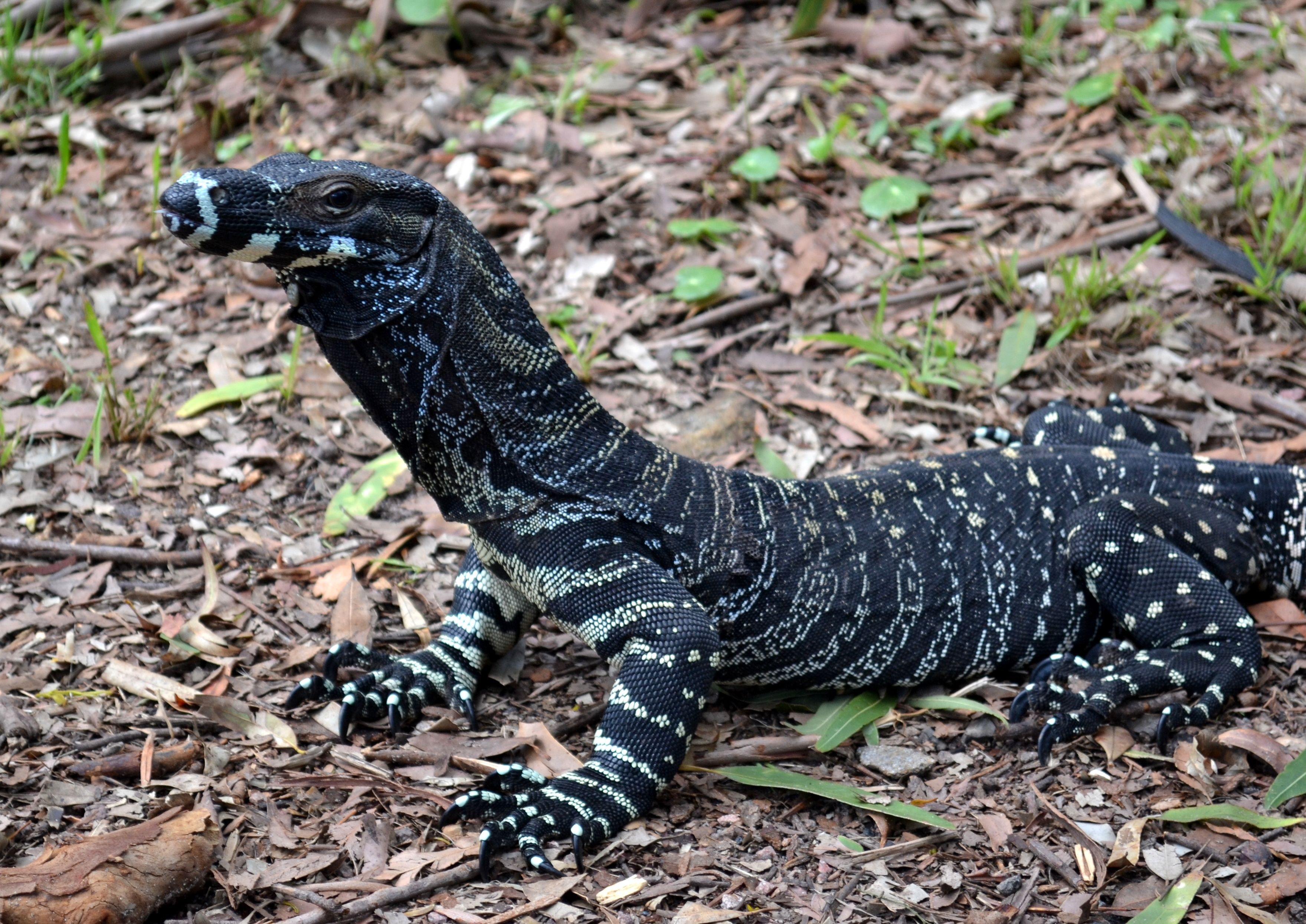 Lace Monitor Lizard Fingal Head Port Stephens Nsw According To