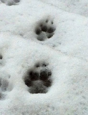 Rexys paw print in the snow