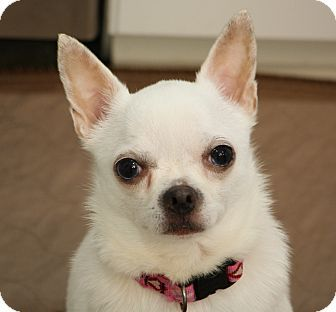 Pearl Is A Special Needs Deaf Chihuahua Mix Dog For Adoption