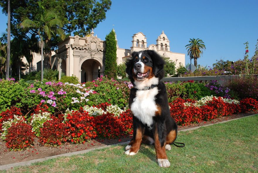 A Bernese Mountain Dog Enjoying Beautiful Balboa Park In San Diego