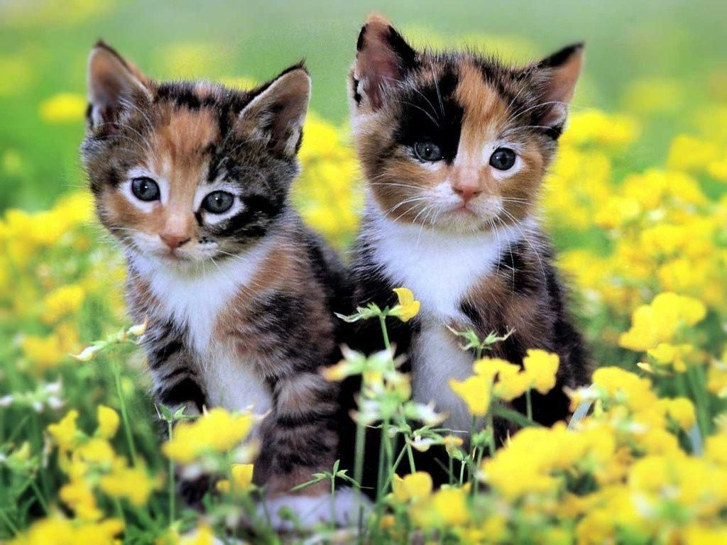 Adorable Calico Kittens Kittens Cutest Kitten Wallpaper Cute Cats And Kittens