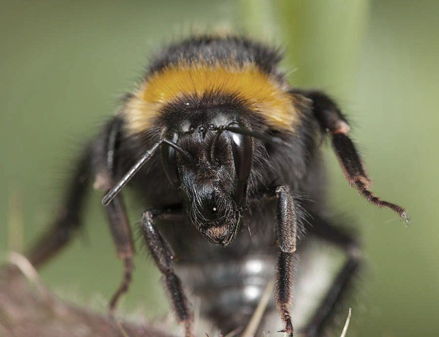 bombus hortorum - garden bumblebee