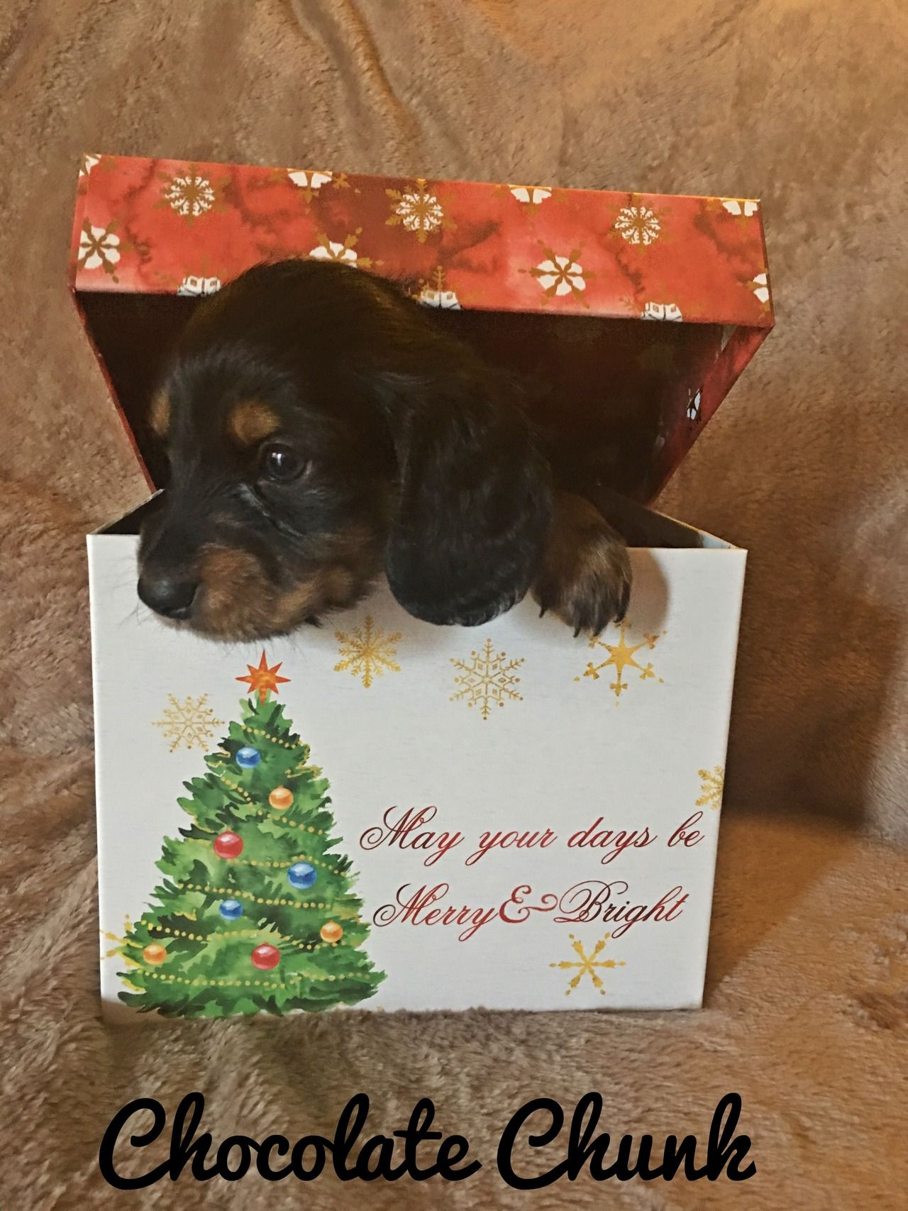 Stunning Miniature Dachshund Puppies For Sale Click The Link