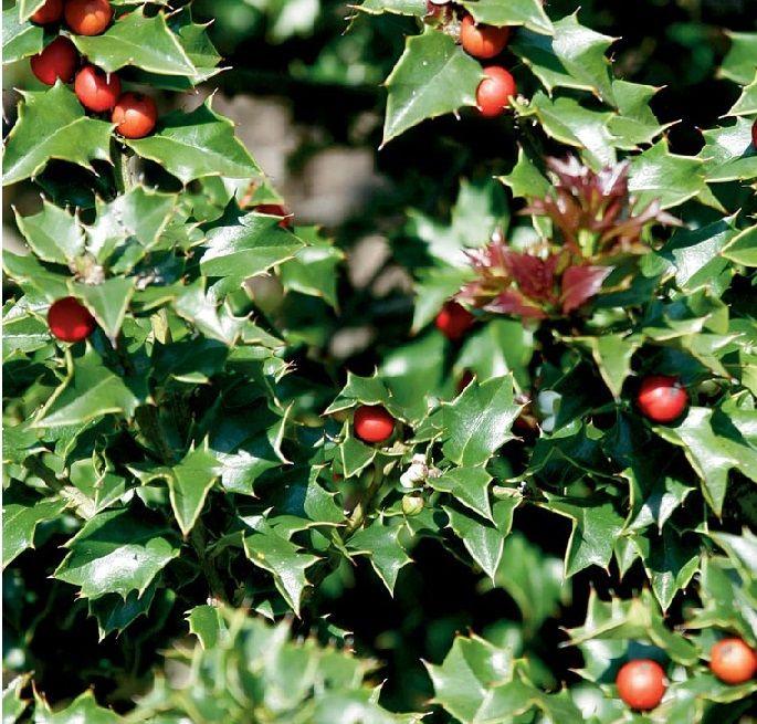 How to choose a Christmas plant Christmas plants, Plants and