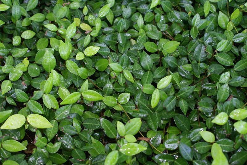 Florida ground cover plants evergreen groundcover for Best low growing groundcover for full sun