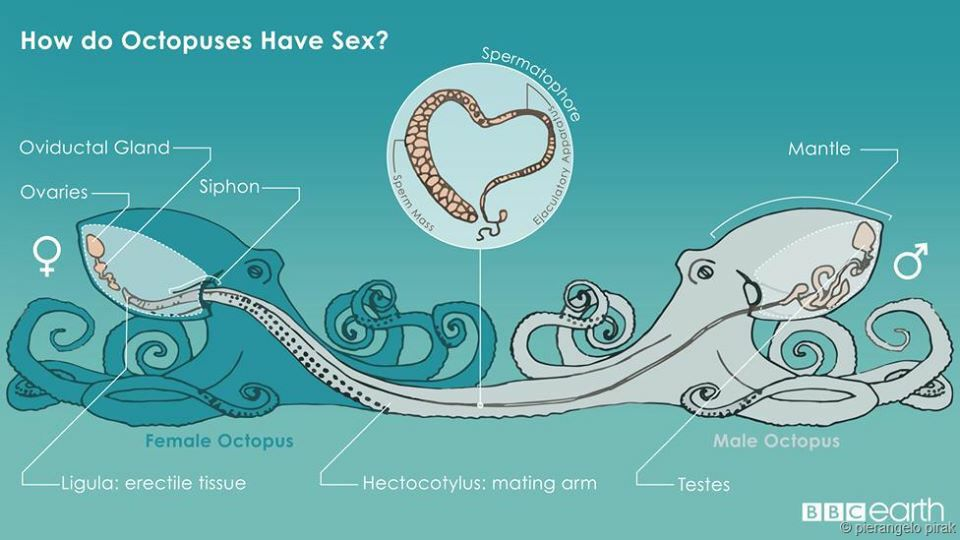 How Does the #Octopus Mate? via BBC Earth #nature #science #anatomy ...