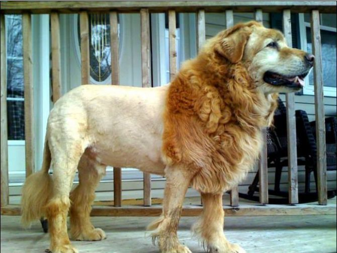 Is It A Dog Or A Lion Looks Like A Golden Retriever To Me