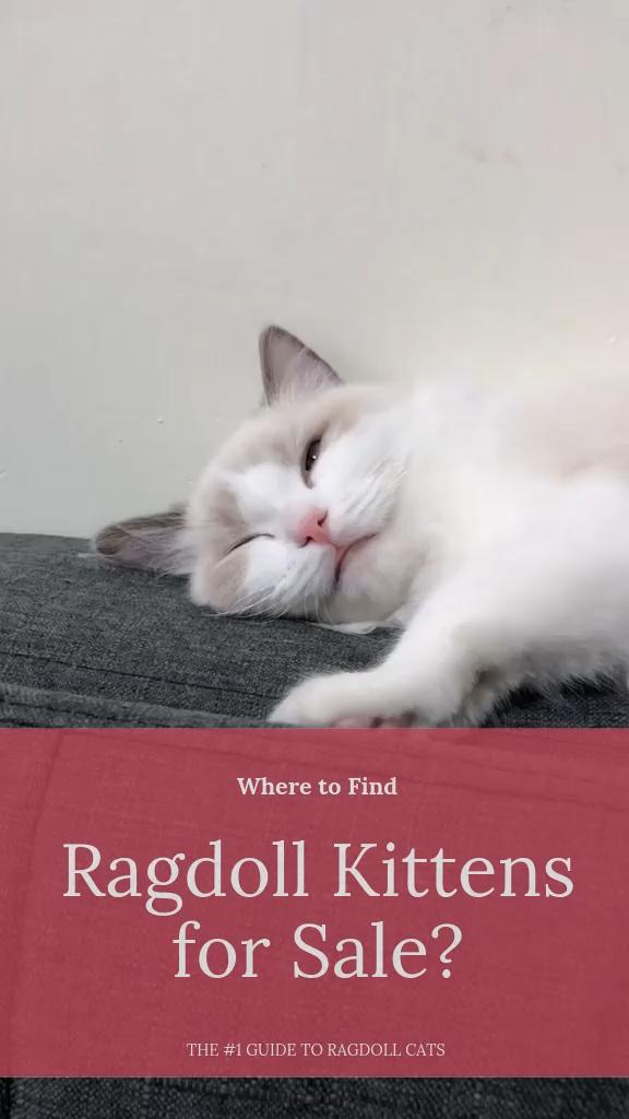 Where to Find Ragdoll Kittens for Sale? ragdollkittens in