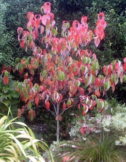 Cornus Kousa Akatsuki Chinese Dogwood Tree In The The Cooler Days Of Autumn The Foliage Turns Astounding Shade Dogwood Trees Small Trees For Garden Dogwood