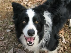Bryce Is An Adoptable Border Collie Dog In Richmond Va Bryce Is