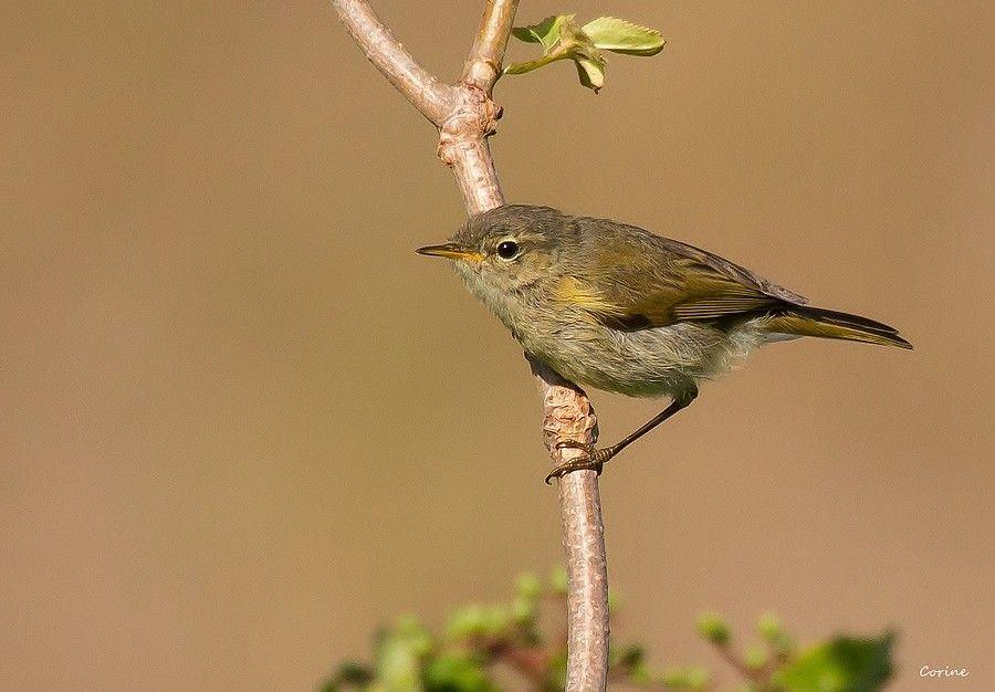 Tjiftjaf Van Vroegevogels Vogels Natuur