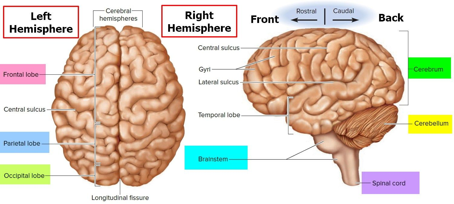 Parts Of The Brain Diagram And Function Human Anatomy Study