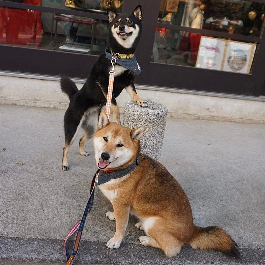 #dog #dogs #shiba #shibainu #shibas #cutedog @himeko_azuki