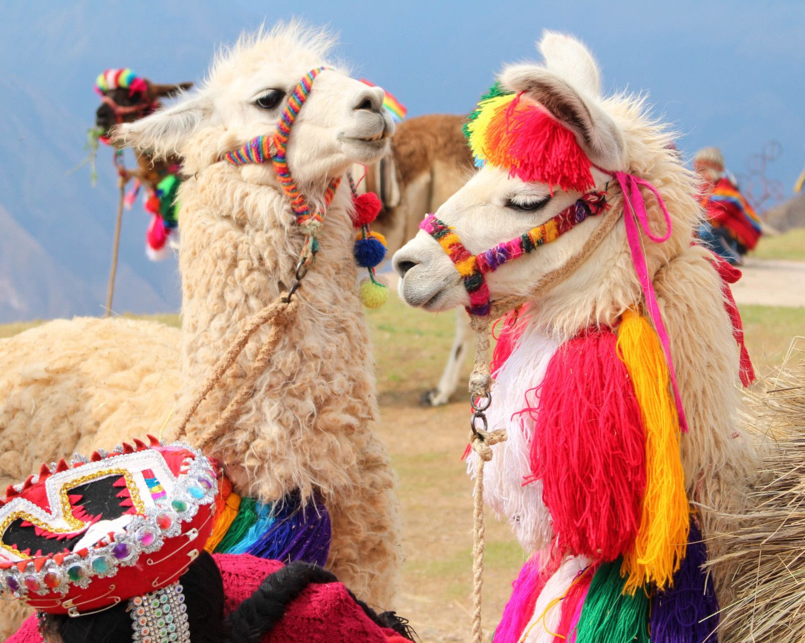 Do You Know Where In The World You Can Find Llamas This Stylish