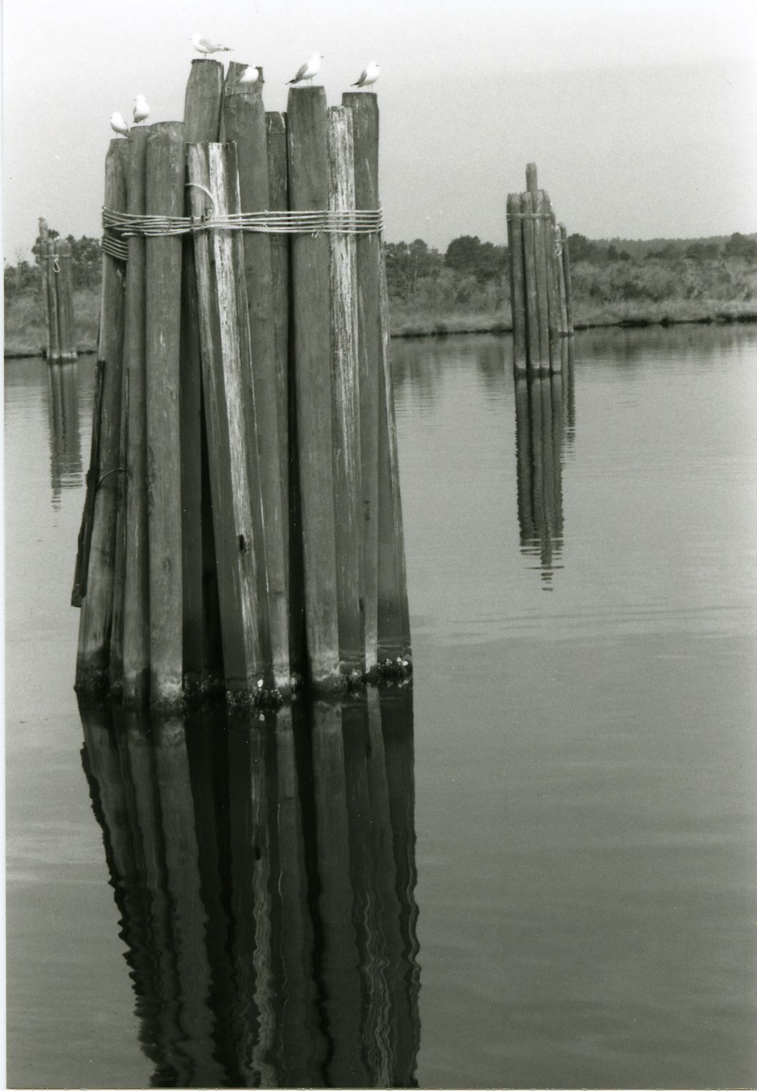 Seagulls on piling.
