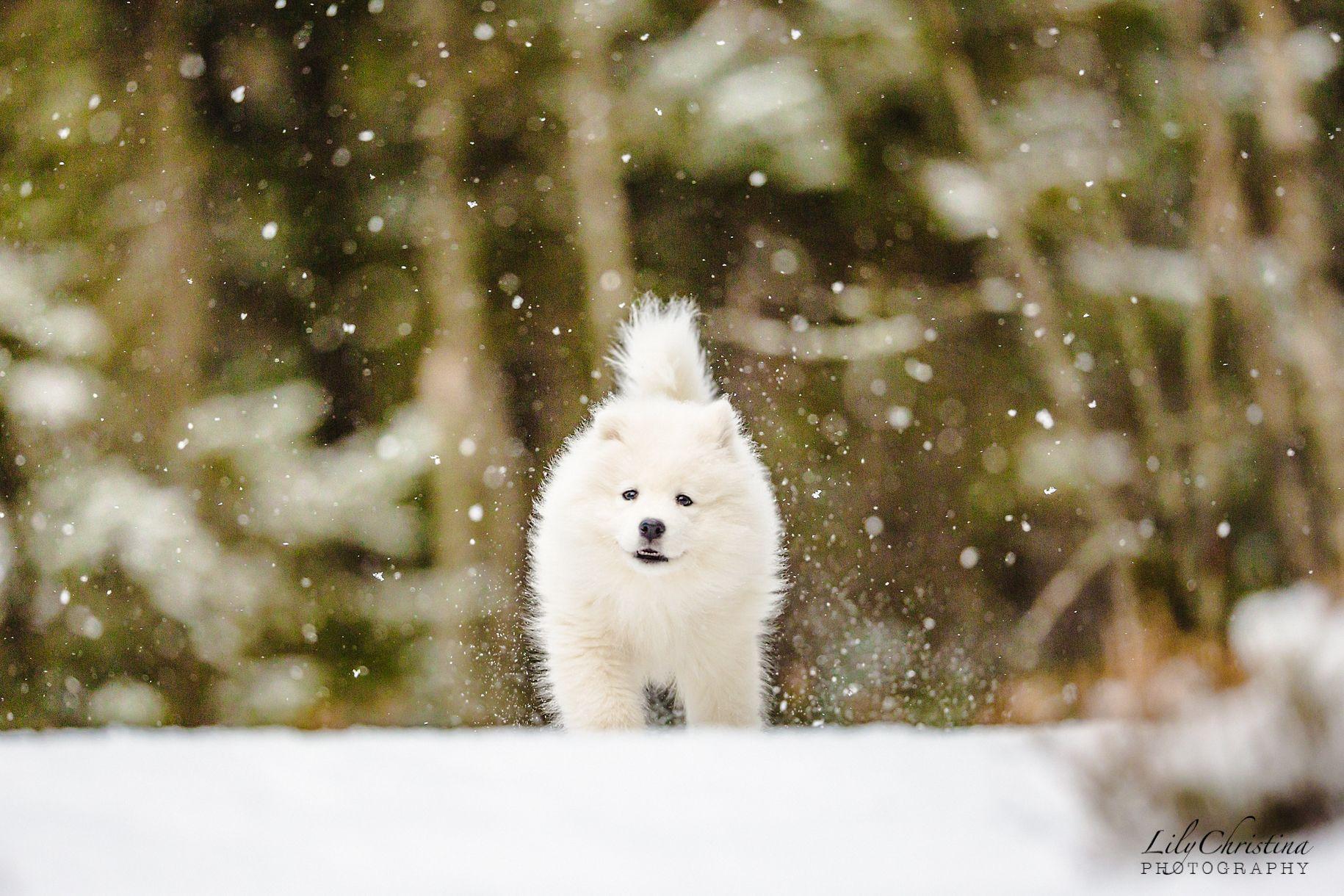 Uusi Perheenjasen Lili Samojedinkoira Animals White Dogs Puppies