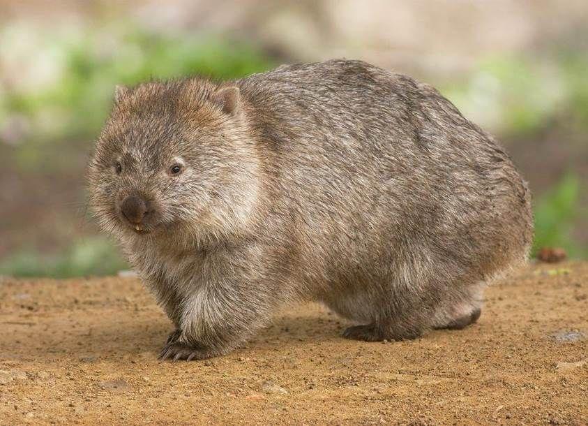 El wombat, el animal de las heces cúbicas