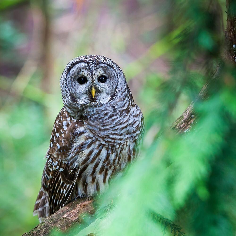 Photo - Barred Owl (USFWS).  Owls Portland Oregon