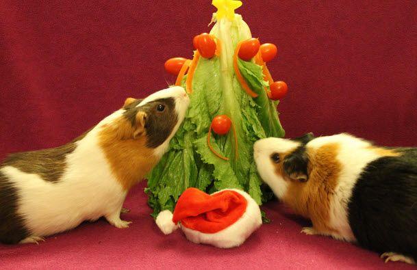 DIY Guinea Pig Christmas Tree - PetDIYs.com - DIY Guinea Pig Christmas Tree - PetDIYs.com À�◇Guinea Pigs