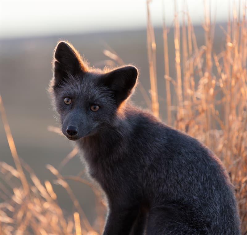 7 Pictures Of Unusual All Black Animals Melanistic Animals Unusual Animals Pet Fox