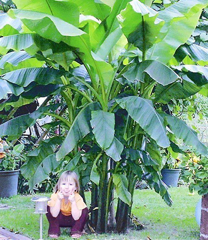 Baldur Garten Winterharte Bananen Grun 1 Pflanze Musa Basjoo Amazon De Garten Winterharte Pflanzen Garten Bananenpflanze Winterhart