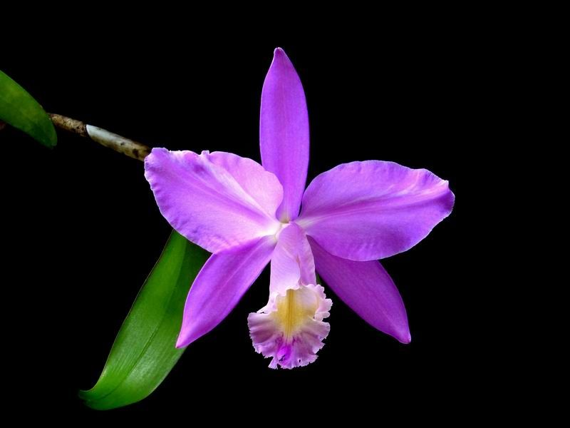 The Hard To Grow Orchid Orchid Varieties Orchid Bouquet Wedding Cattleya Orchid