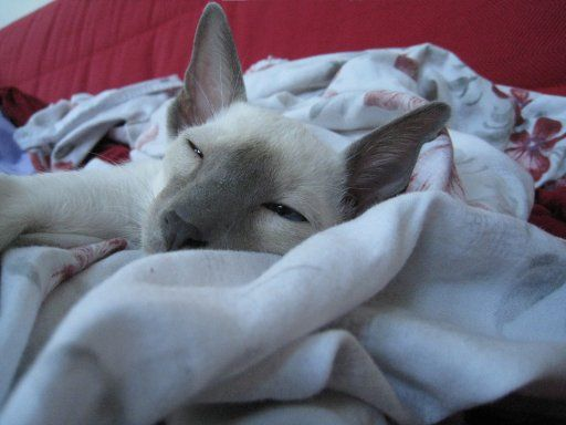 Male Lilac Point Siamese Warm Sheets Naptime Cat Pics Siamese Cats Dog Cat