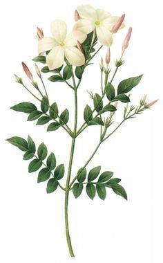 Jasmine Botanical Flower Art Flower Prints Art Flower Drawing