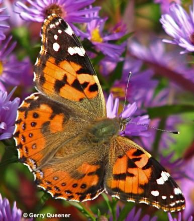 Painted Lady Vanessa cardui - thistle and mallow host plants - huge range of hostplants - including native sagebrush A. ludoviciana, Yarrow (Achillea millefolium),  Hollyhock (Alcea rosea) and many others