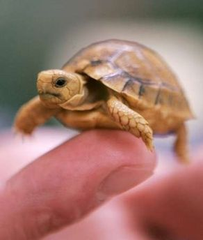 Baby Turtles Helped Tiny Turtles Turtles Turtle Tuesday Baby Tortoise Cute Baby Animals Baby Turtles