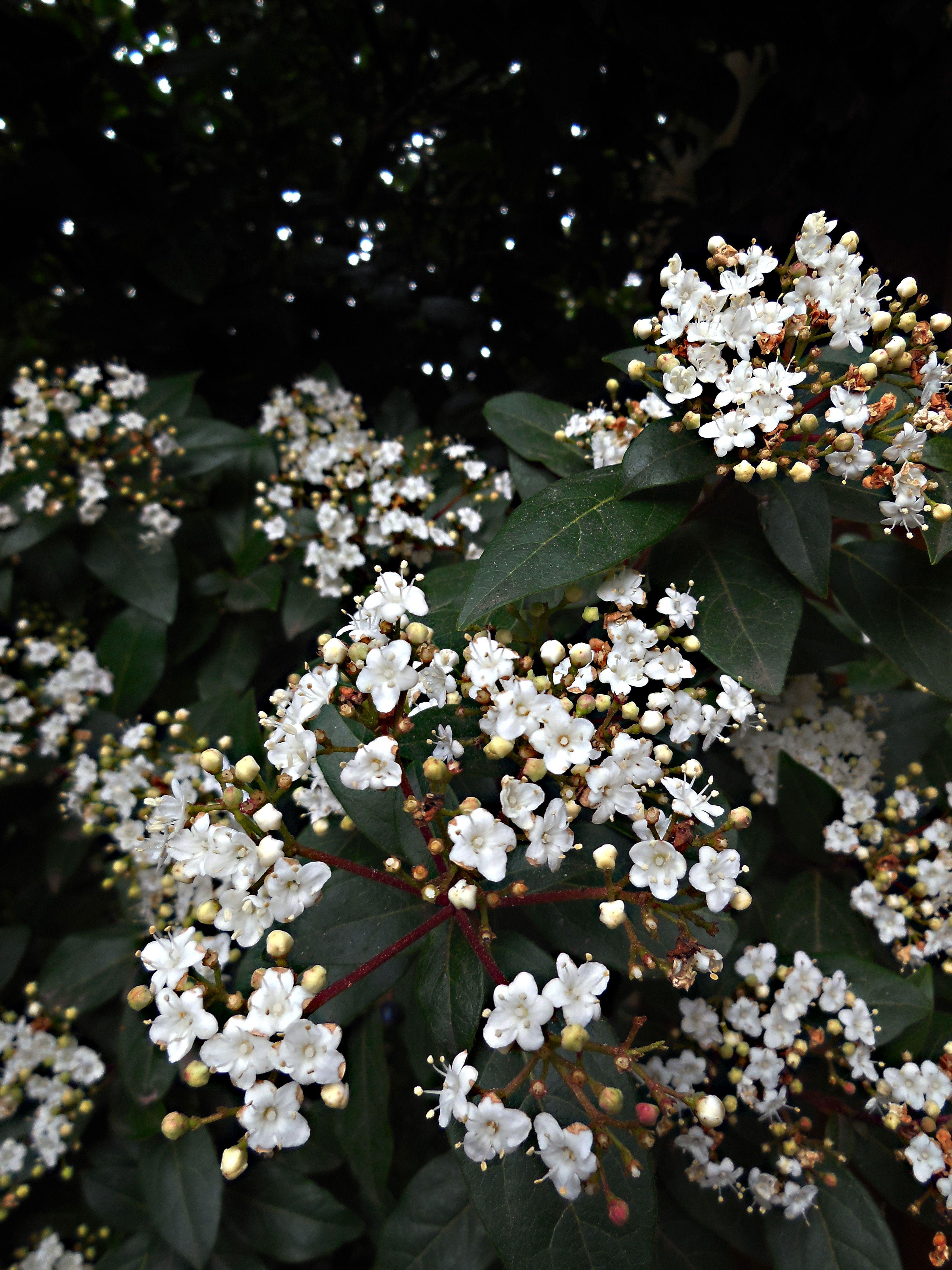 Viburnum tinus Laurentino bush