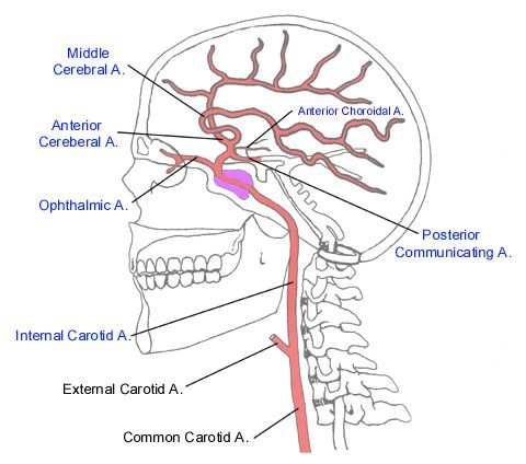Common Arteries In Brain Anatomy The Common Carotid Artery Is An Artery That Supplies The Head Internal Carotid Artery Carotid Artery Arteries