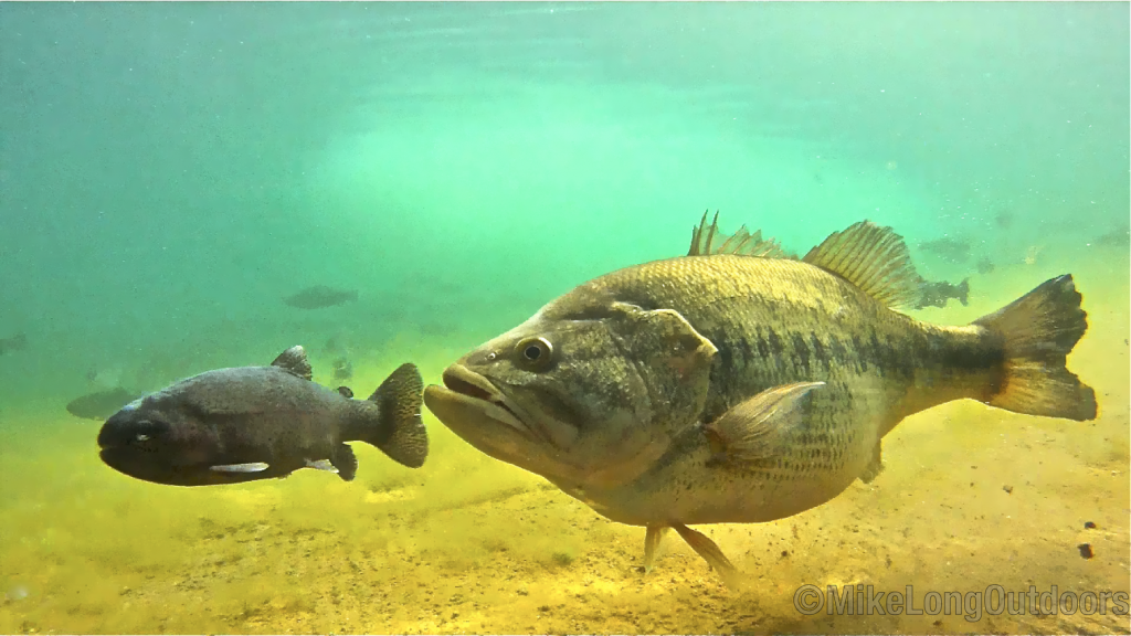 Underwater Bass Pictures. Some amazing shots courtesy of ... Largemouth Bass Pictures Underwater