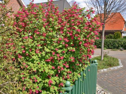 ribes sanguineum 39 king edward vii 39 19 planted phase 1 install pinterest king edward vii. Black Bedroom Furniture Sets. Home Design Ideas