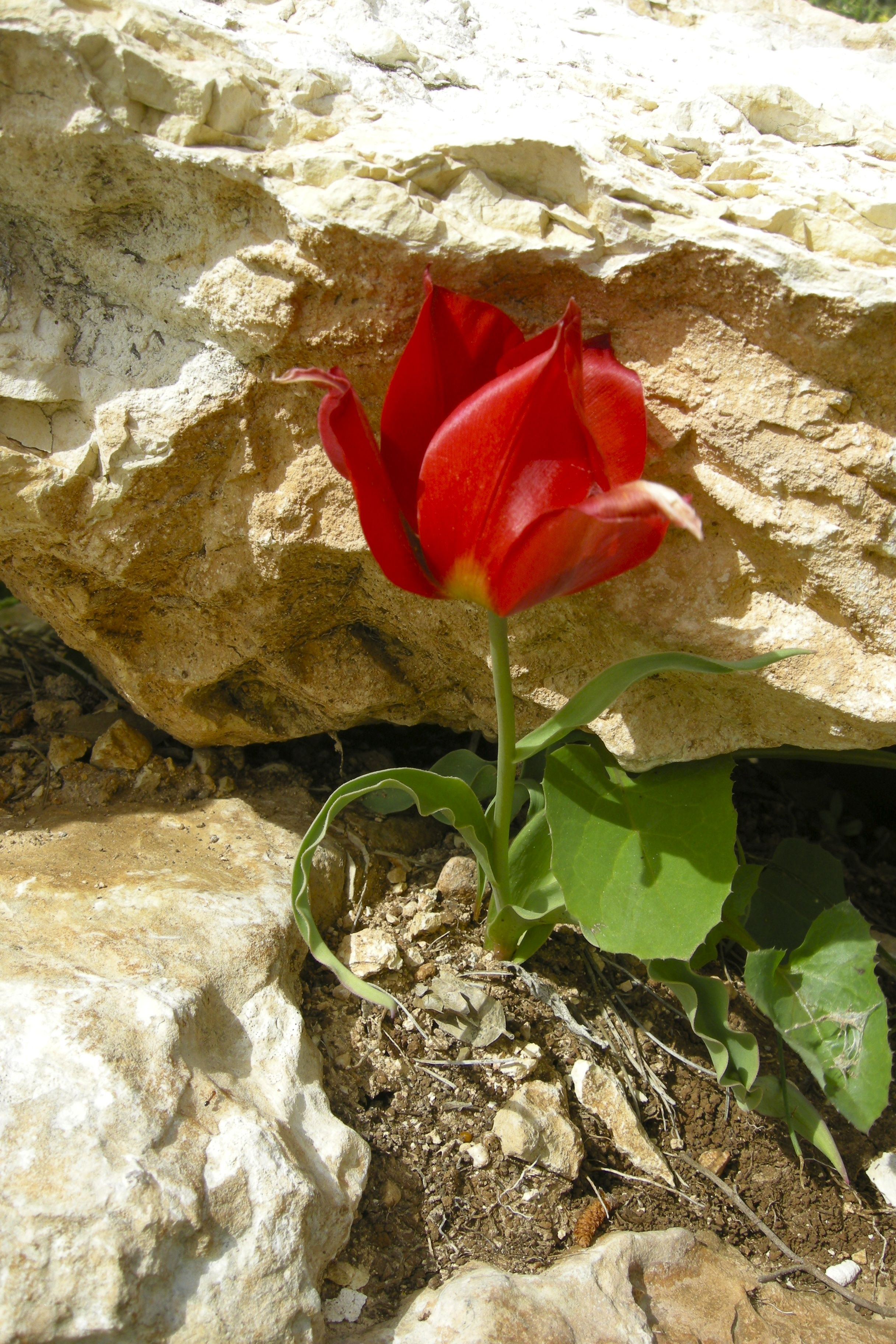 A Shy Tulip In Ramat Raziel Israely Plants And Flowers Pinterest