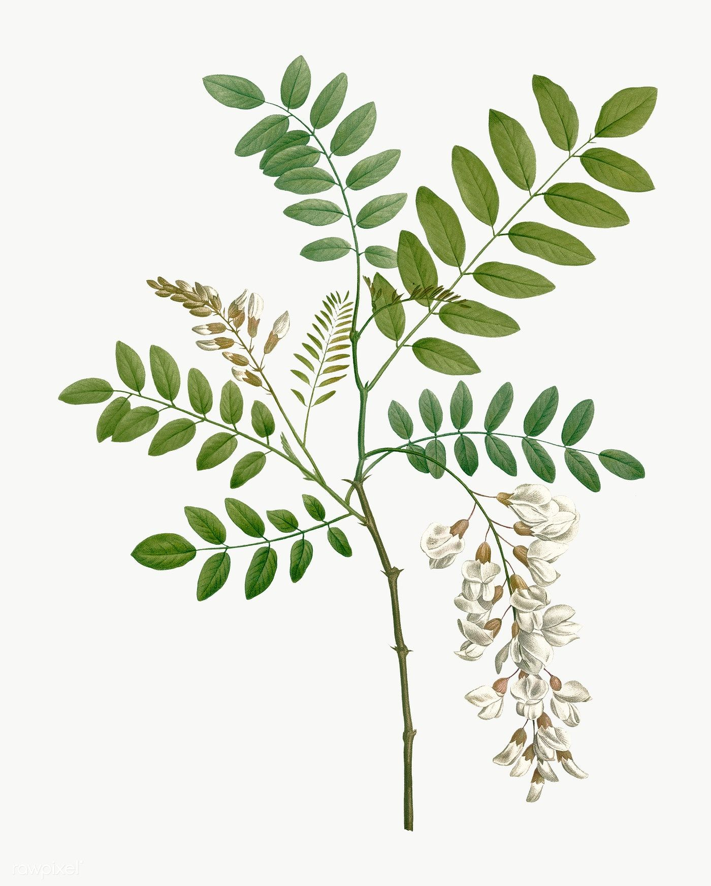 Vintage Acacia Plant Transparent Png Free Image By Rawpixel Com Phlox Flowers Flower Illustration Small White Flowers
