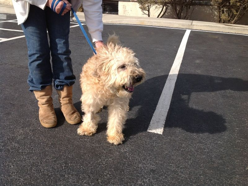 Adopt bear on petfinder wheaton terrier terrier dogs