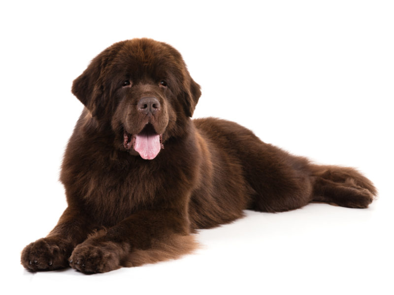 The Newfoundland Dog Is A Large Working Dog They Can Be Either