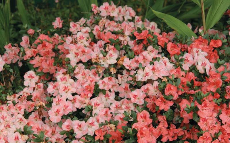 Buy Hilda Niblett Azalea Plants FREE SHIPPING 3 Gallon