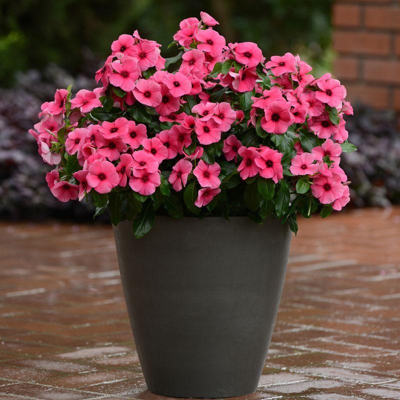 Vinca Tattoo Raspberry Flower Pots Flower Pot Design Annual Flowers