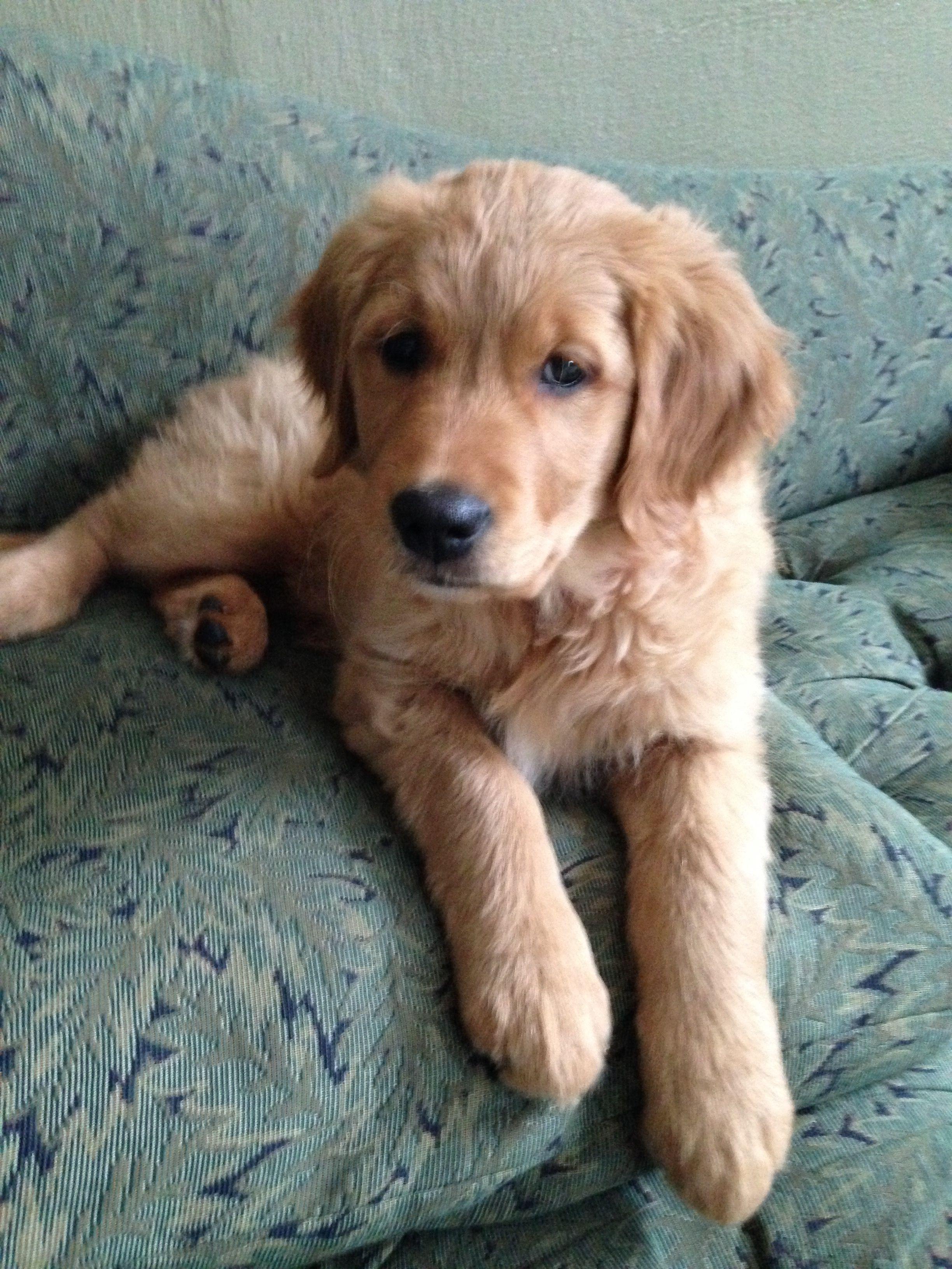 Golden puppy Baby puppies, Dogs golden retriever, Cute dogs